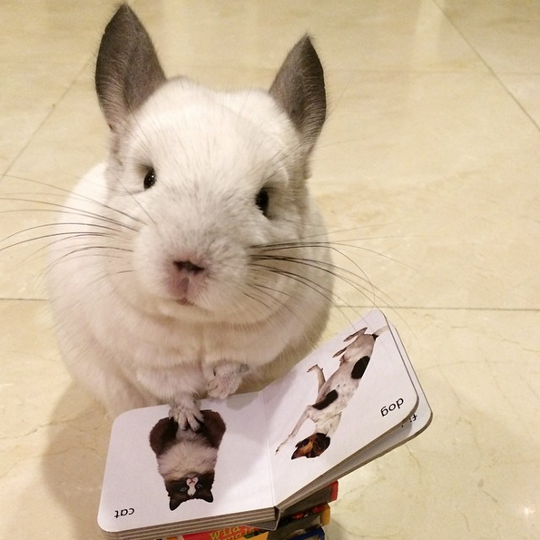 chinchilla-reading-book-via-cute_bubu-on-instagram.png