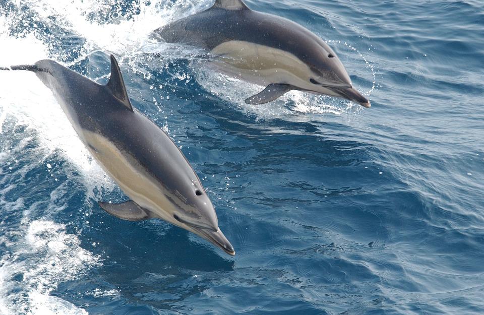 common-dolphins-914548_960_720.jpg