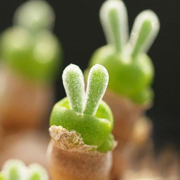 cute-rabbit-succulents-monilaria-obconica-4-58c7a2478ba60_605.jpg