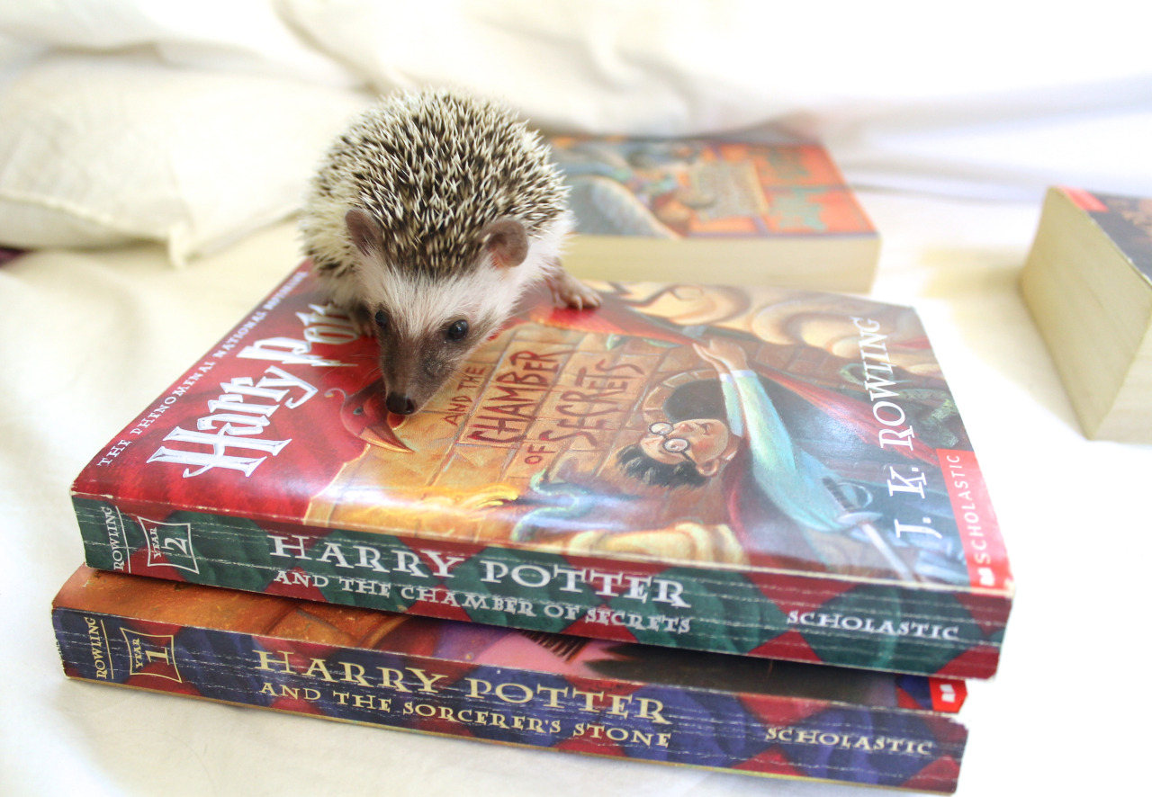 hedgehog-reading-harry-potter-via-attics-the-hedgehog-on-tumblr.jpg