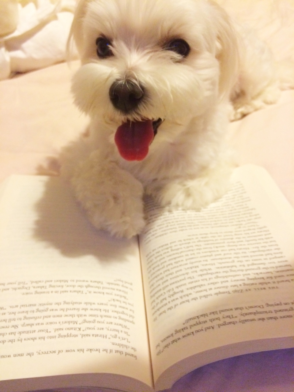 maltese-dog-reading-book-via-shafinaserendipitously-on-tumblr.jpg