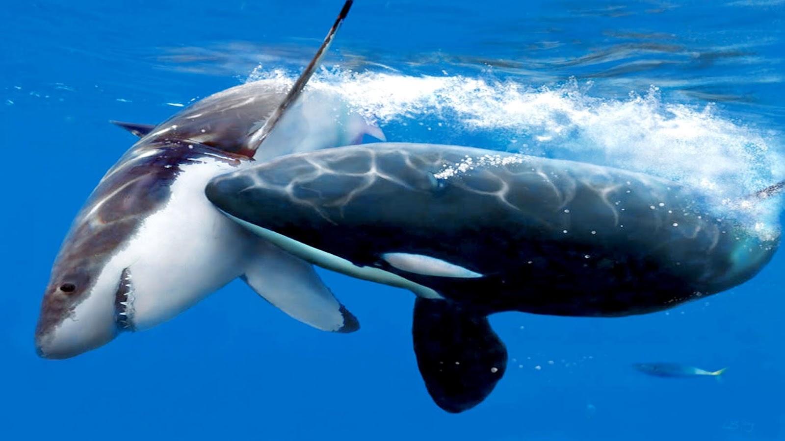 orca_atacando_tubar_o_branco.jpg