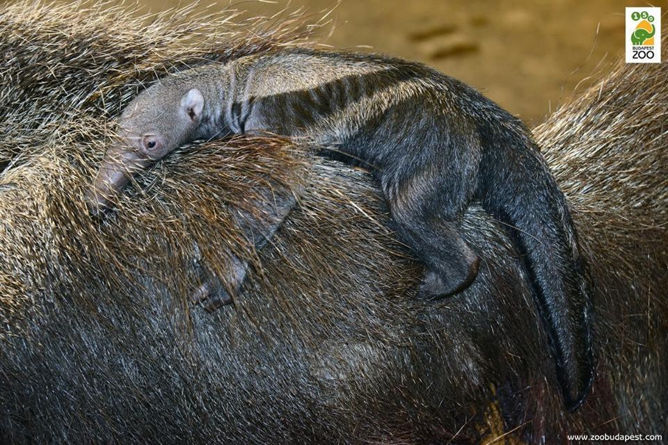 Anyja hátán lovagol a sörényes hangyász kölyök