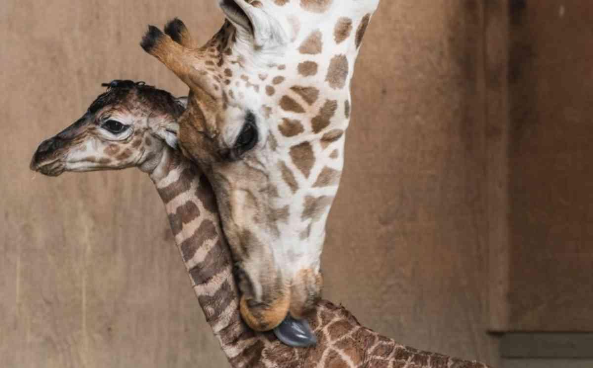 Hasonló intim pillanatok játszodtak le '17 első napjaiban az Állatkertben