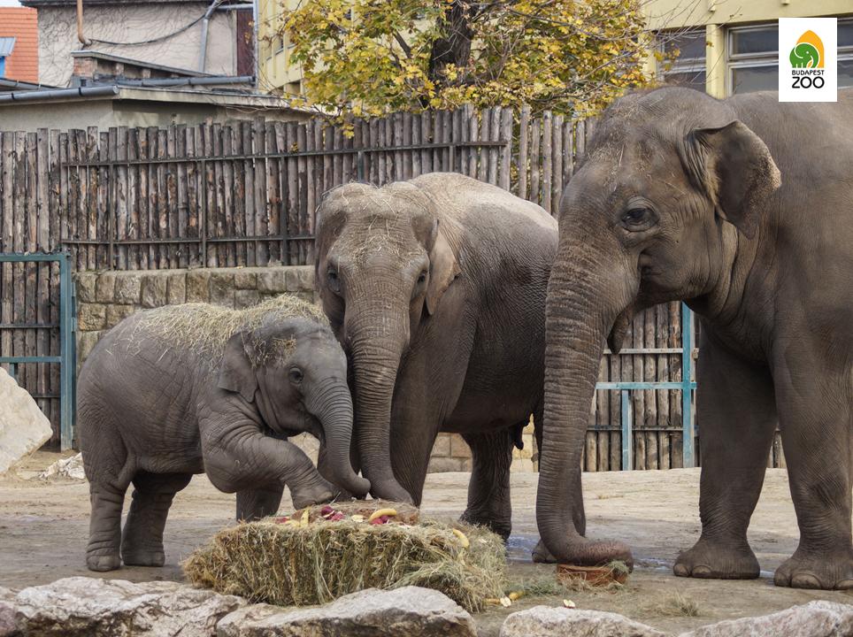 Arun, a kiselefánt szüleivel, második szülinapján