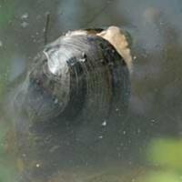 Új állatfajokat fedeztek fel a Balatonban