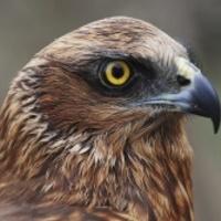 Újabb transzvesztita madarat találtak