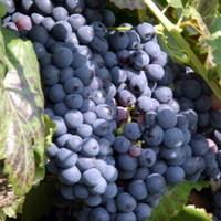 Ismét folyik a bor a kékfrankos fővárosában