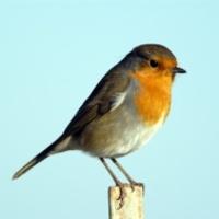 Mitől szép az énekes madarak hangja?
