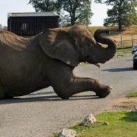 Út közepén elalvó elefánt okozott dugót