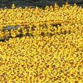 Ma délután sárga gumikacsák lepik el a Dunát