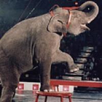 Elefánt gyilkolt a cirkuszban