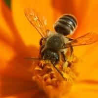 A méheket nem lehet hullákkal megszívatni