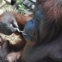 Le kell szoknia a dohányzó orangutánnak (Videó)