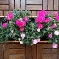 Mi a virágzó balkonláda titka?
