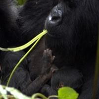 Vad hegyi gorilla ikrek születtek
