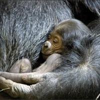 Kétszer annyi gorilla él Kongóban, mint azt hitték