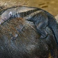 Újabb bébi született az Állatkertben