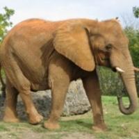 Meghülyült egy elefánt a szafari parkban