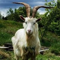Egy kecske lesz Írország királya