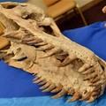 Múzeumba kerülnek a lopott dinoszaurusz csontok?
