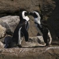 Szétválasztják a meleg pingvinpárt