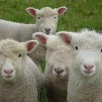 Újra divat a pásztorkodás