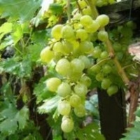 Megkínzott vértanú vigyáz a termésre