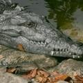 Felfedezés: a krokodilok nyálas zenére nedvesednek