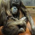 Orángután-bébi született a Fővárosi Állatkertben