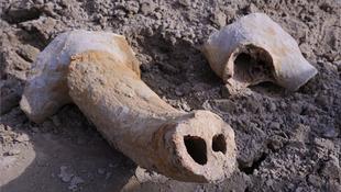Ősbölényt találtak Szegeden