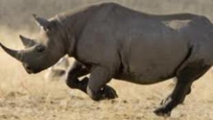 Rinocéroszfejeket lopnak az európai múzeumokból