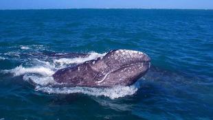 Rengeteg bálnára leltek