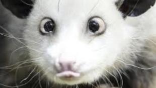 A kancsal oposszum lesz az Oscar sztárja