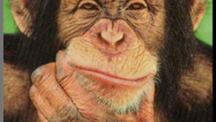 A csimpánzok okosabbak, mint egy négy éves gyerek