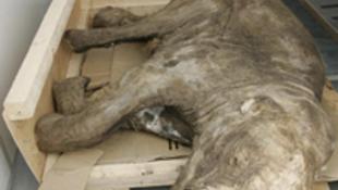 40 ezer éves óriásbébi a vitrinben
