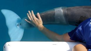 Amerika új sztárja a protézist kapott delfin