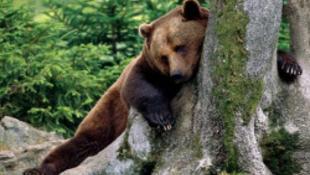 Grizzlyk szorítják ki a jegesmedvéket