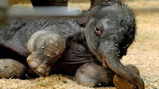 Talán nem sérült a korábban halottnak hitt kiselefánt