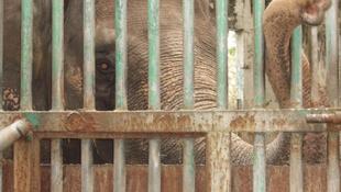 Egy öreg elefánt jogaiért harcol az énekes