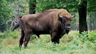 Kihalhat Európa legnagyobb emlősállata