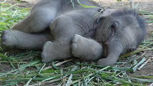 Egy évtized, és kipusztulnak az afrikai elefántok