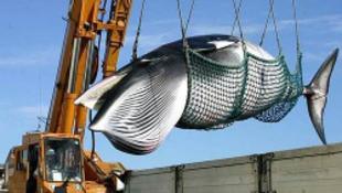 A bálnákért feláldozzák életüket