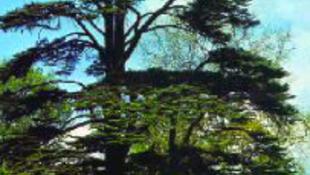 A klímaváltozás az évezredes libanoni cédrusokat fenyegeti