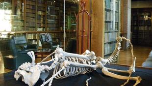 Riasztó emberszerű lény csontvázát állították ki