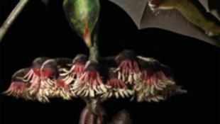 Denevércsalogató levelekkel nyomul a természet