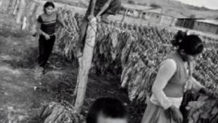 Illegális gyerekmunka a dohányföldön