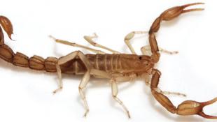 Skorpiót talált egy egyetemi hallgató