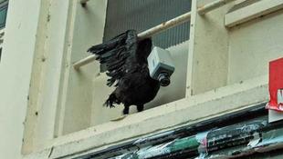 Kamerafejű galambok lepték el a várost