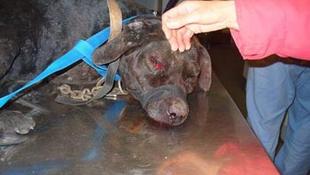 Vascsővel ütötték a láncra vert kutyát